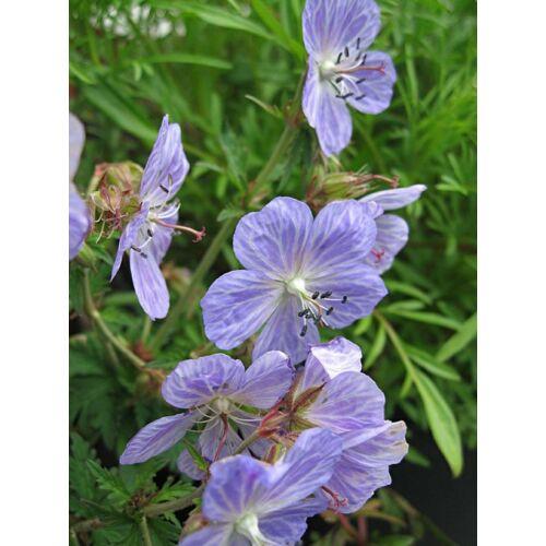 Geranium pratense, 'Mrs. Kendall Clarke'