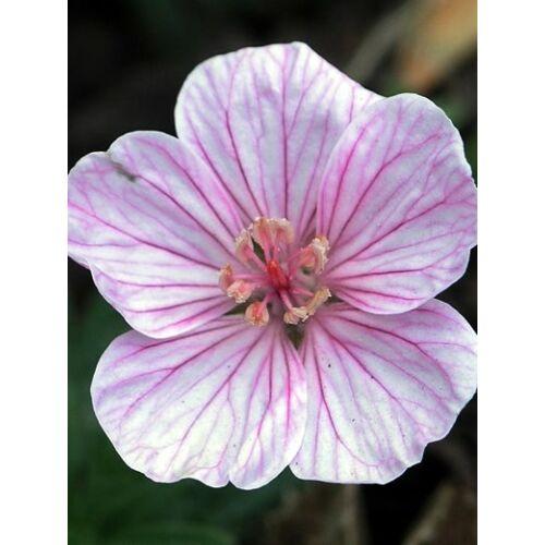 Geránium - Geranium sanguineum var. lancastriense