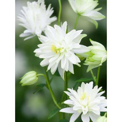 Harangláb (Aquilegia vulgaris) - Fehér