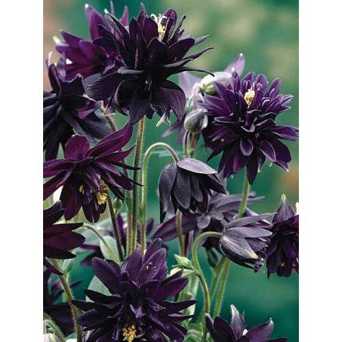 Harangláb (Aquilegia vulgaris) - Fekete