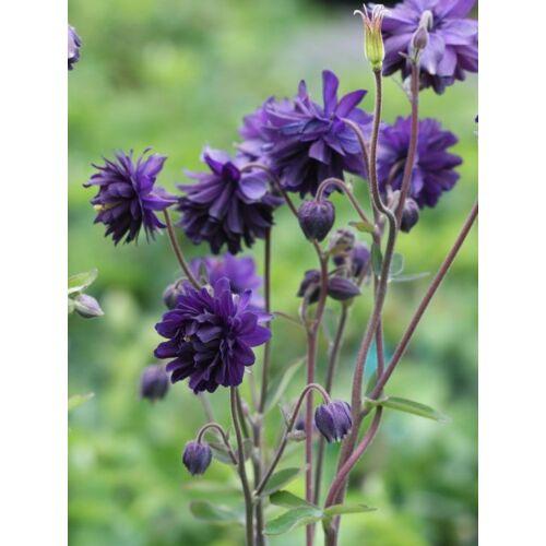 Harangláb (Aquilegia vulgaris) - Kék
