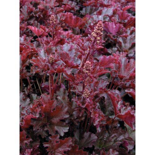 Heuchera - Crimson curl