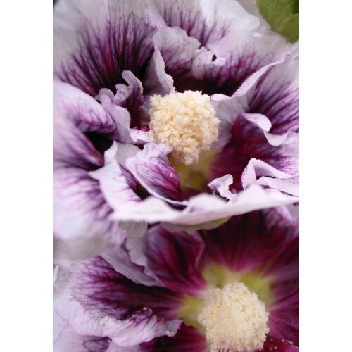 Mályvarózsa (Alcea rosea) -, 'Blackcurrant Whirl'