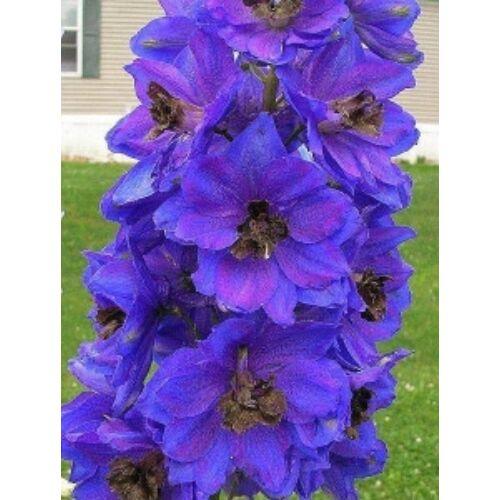 Szarkaláb - Dark Blue Black Bee