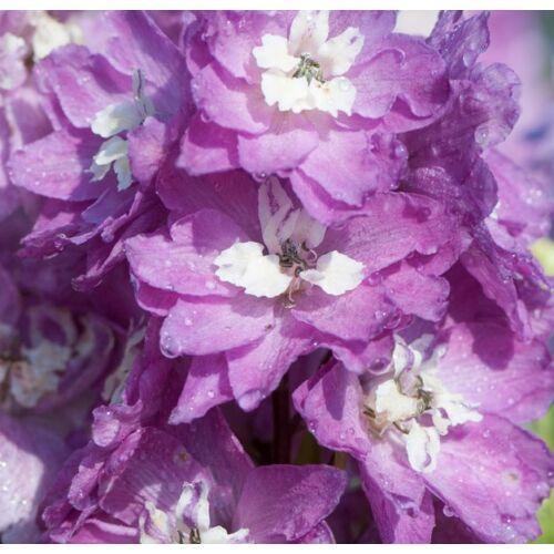 Szarkaláb - Deep Rose White Bee