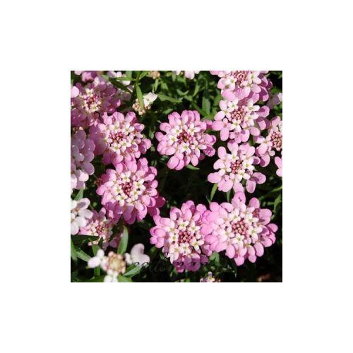 Örökzöld tatárvirág - Pink Ice