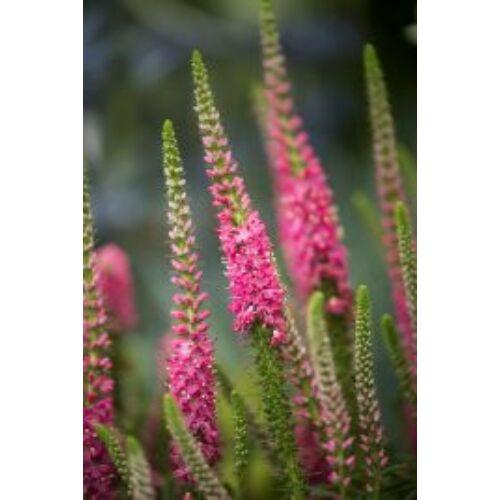 Veronika, hosszúlevelű (Veronica longifolia), 'Pink Shades'