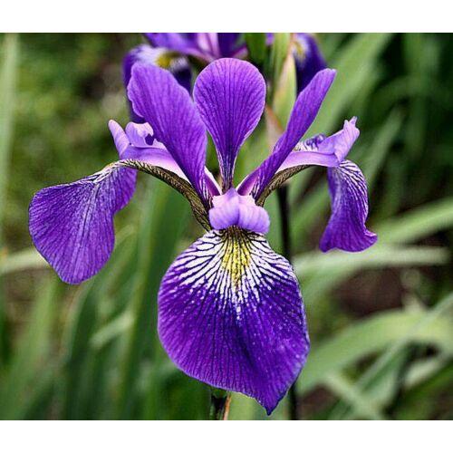 Botanikai írisz - Virginica Dark Aura