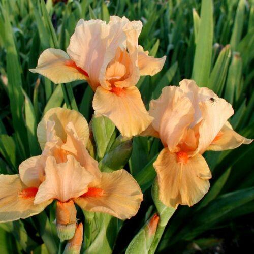 Középmagas írisz - Orange Petals