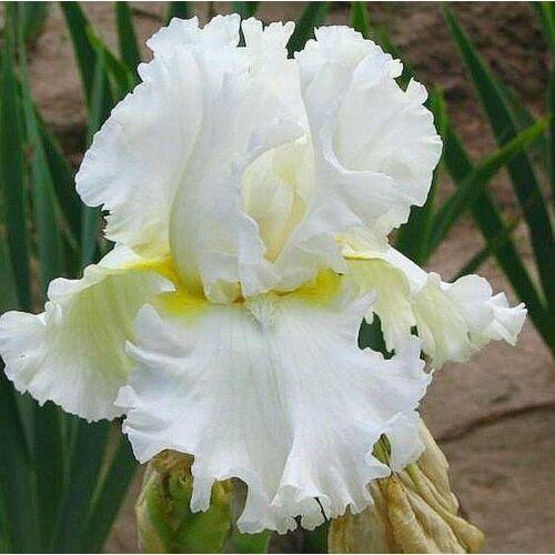 Nagyvirágú írisz - Devonshire Cream