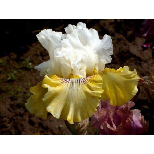 Nagyvirágú írisz - Fancy a Flutter