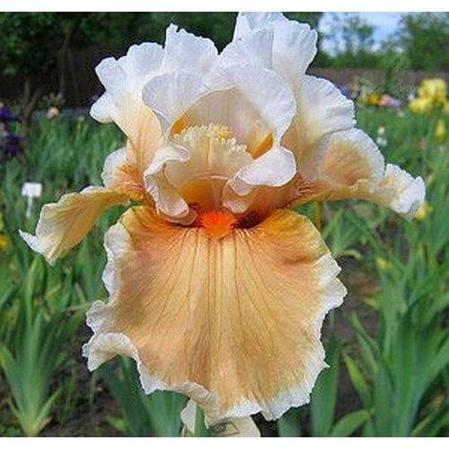 Nagyvirágú írisz - Opal Brown