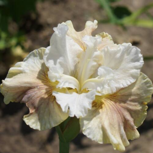 Szibériai nőszirom - Wynne Magnolia