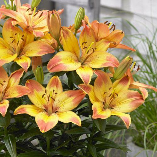 Ázsiai liliom - Törpe HAPPY MEMORIES