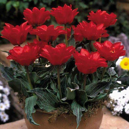 Balkon Tulipán - DOUBLE RED RIDING HOOD
