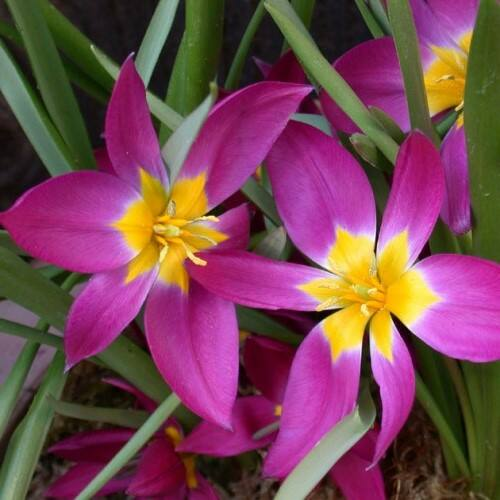 Botanikai Tulipán - EASTERN STAR
