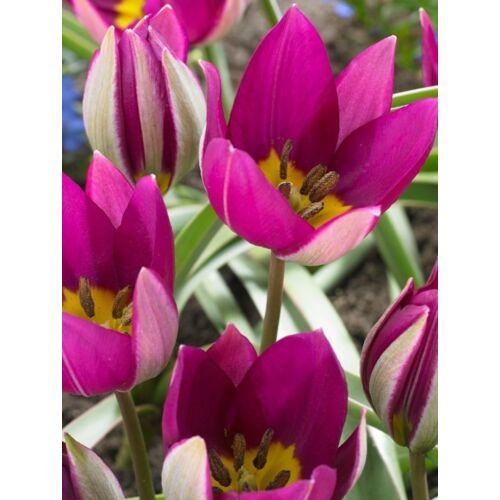 Botanikai Tulipán - PERSIAN PEARL (1 db)