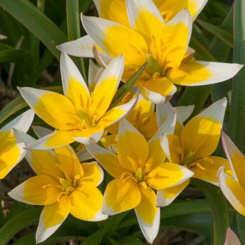 Botanikai Tulipán - TARDA