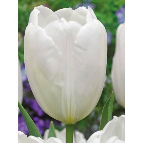 Darwin Tulipán - HAKUUN