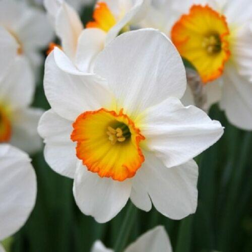 Nagycsészéjű Nárcisz - FLOWER RECORD