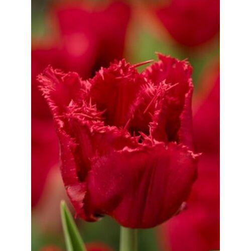 Rojtos szélű Tulipán - CALIBRA  (1 db)