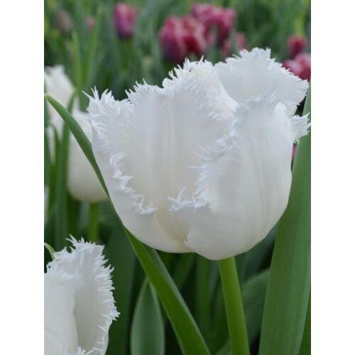 Rojtos szélű Tulipán - CAMBRIDGE  (1 db)