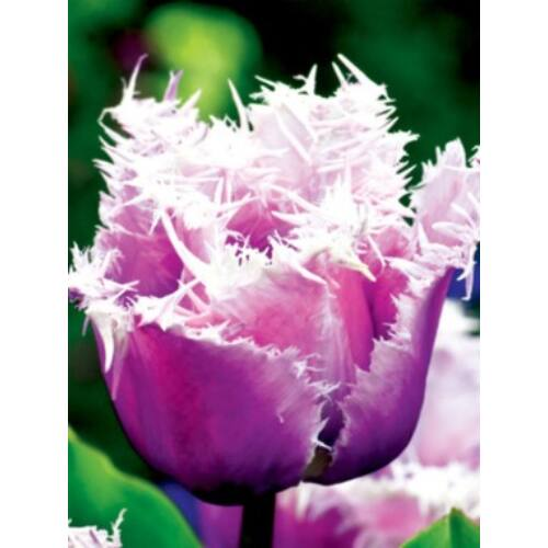 Rojtos szélű Tulipán - CUMMINS (1 db)