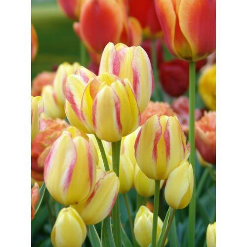 Sokvirágú Tulipán - ANTOINETTE (1 db)