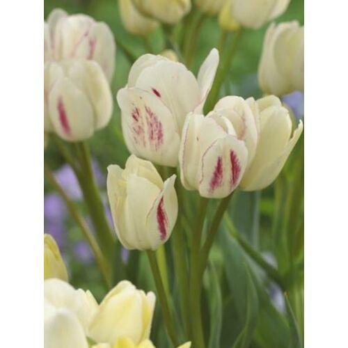 Sokvirágú Tulipán - CANDY CLUB (1 db)