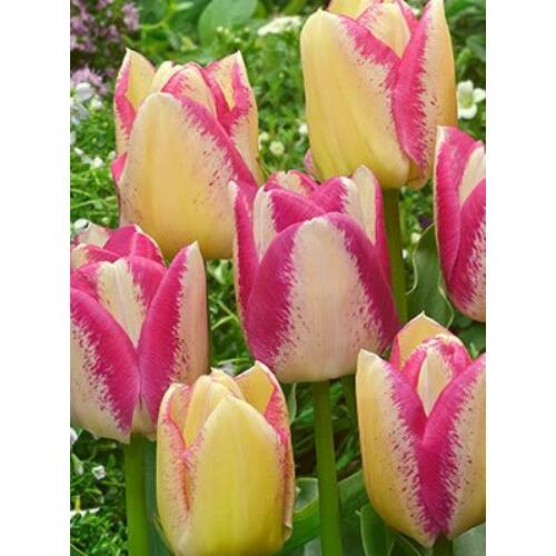 Sokvirágú Tulipán - DEL PIERO (1 db)