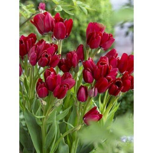 Sokvirágú Tulipán - FIERY CLUB (1 db)