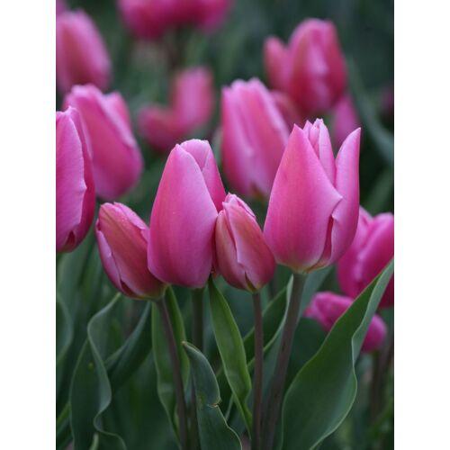 Sokvirágú Tulipán - HAPPY FAMILY
