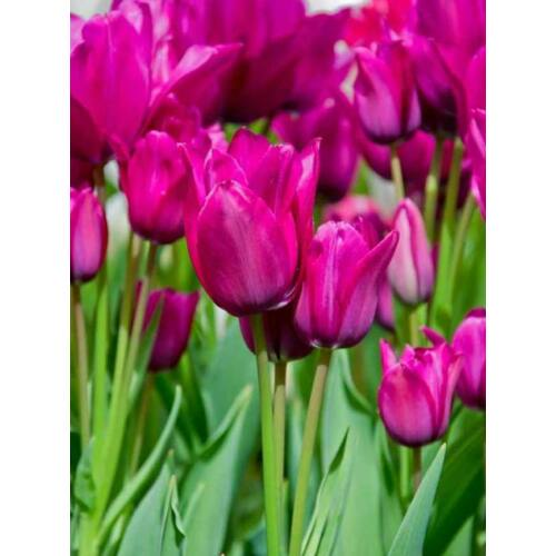 Sokvirágú Tulipán - NIGHT CLUB