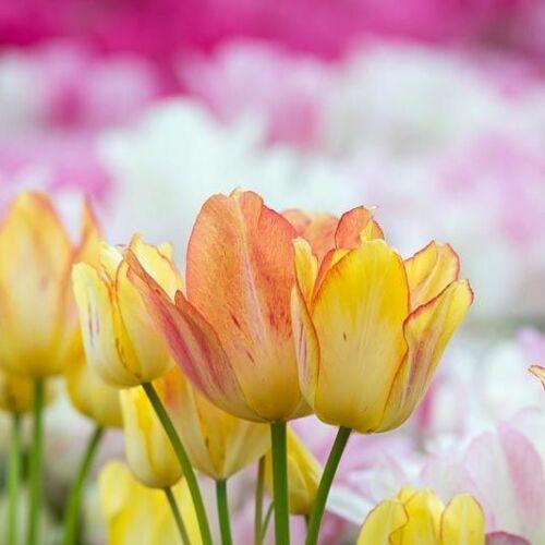Sokvirágú Tulipán - SUNSHINE CLUB
