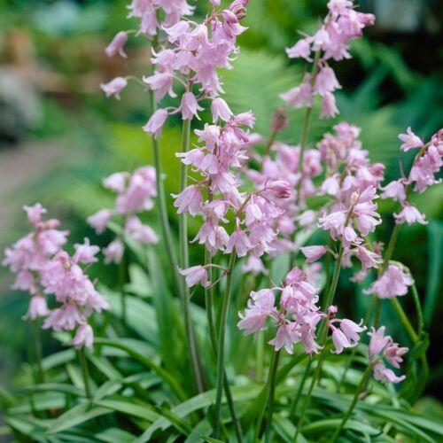 Spanyol kékcsengő (Hyacinthoides hispanica) - PINK (1 db)