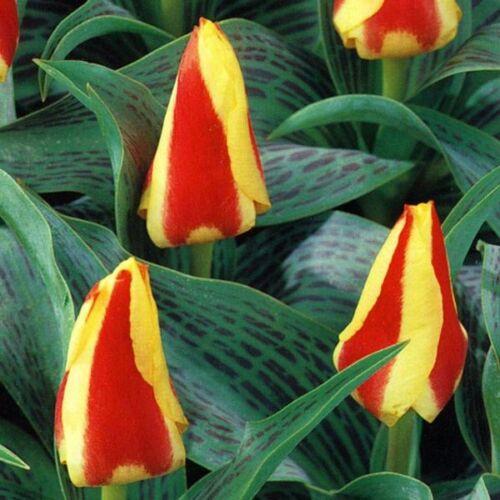 Törpe Tulipán - GLUCK