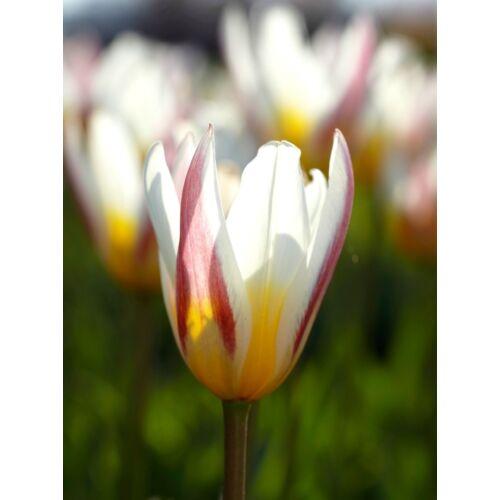 Törpe Tulipán - ICE STICK (1 db)