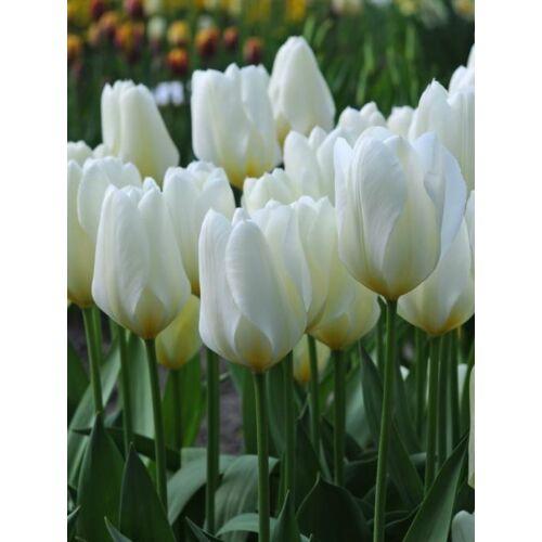 Törpe, fosteriana Tulipán - WHITE PURISSIMA (1 db)