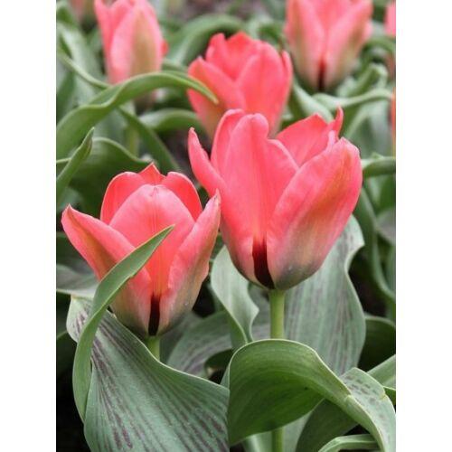 Törpe, greigii Tulipán - ORATORIO (1 db)