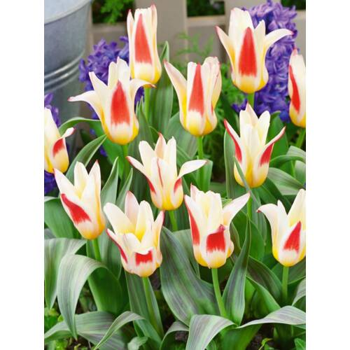 Törpe, kaufmanniana Tulipán - JOHANN STRAUS