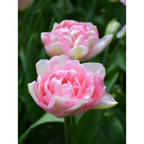 Teltvirágú Tulipán - ANGELIQUE (1 db)