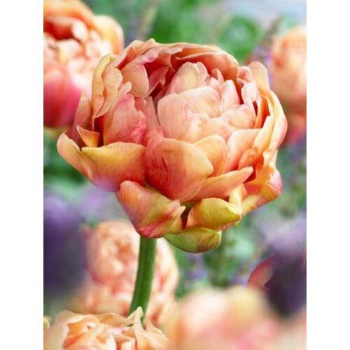Teltvirágú Tulipán - COPPER IMAGE (1 db)