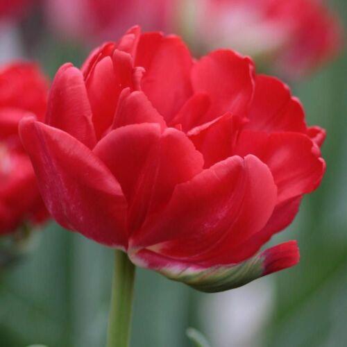Teltvirágú Tulipán - ESTATIC