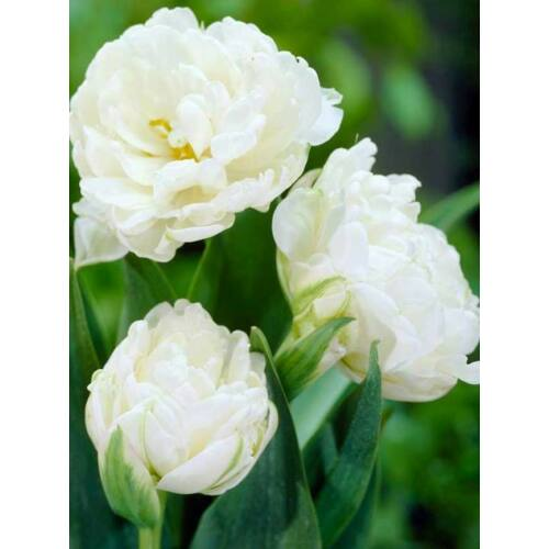 Teltvirágú Tulipán - MOUNT TACOMA (1 db)