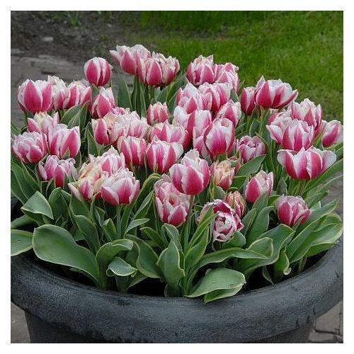 Teltvirágú Tulipán - TOPLIPS