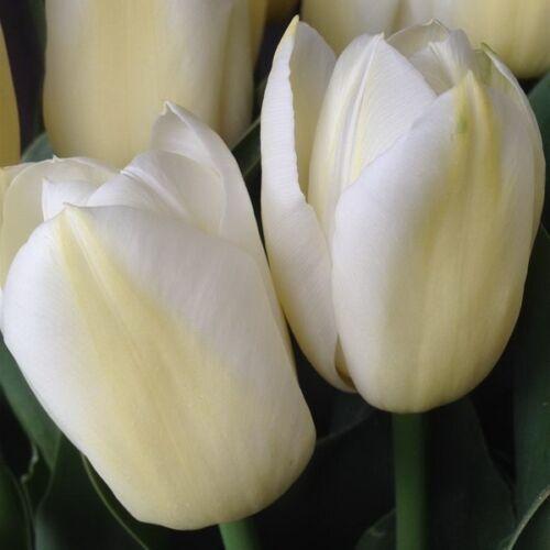 Triumph Tulipán - WHITE DYNASTY