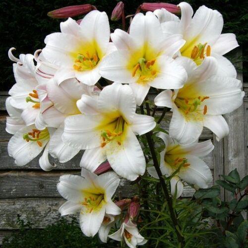 Trombita virágú liliom - WHITE PLANET
