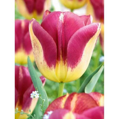 Tulipán - BOSTON (1 db)