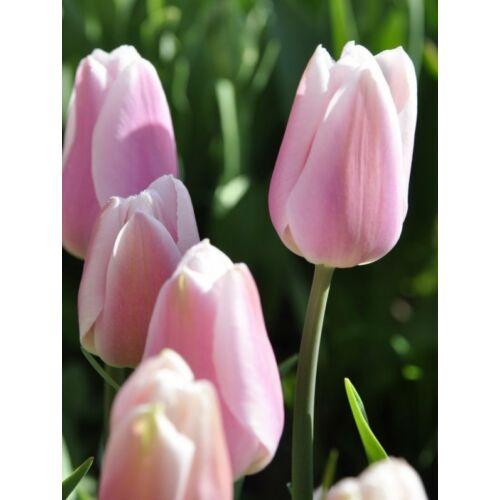 Tulipán - GABRIELLA