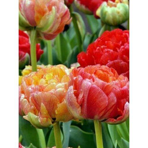Tulipán különlegesség (